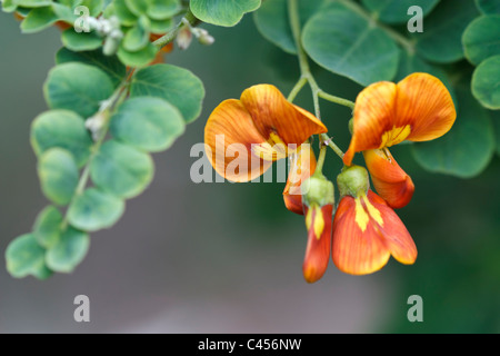 Selective focus image of a blooming Bladder Senna (Colutea Arborescens) - Stock Image