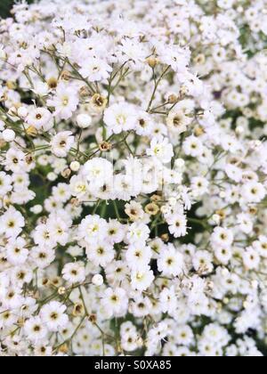 White flower blooms - Stock Image