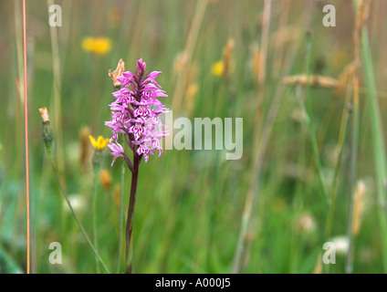 Close up of Purple Marsh Orchid among field of green grass - Stock Image