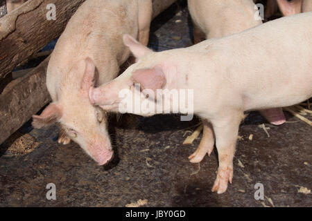A group of young domestic pigs at a farm in Cuba - Stock Image
