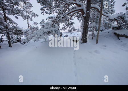 A fox track leads through a snow-clad forest at dusk. - Stock Image