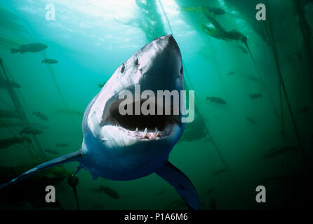 Great White Shark (Carcharodon carcharias), Guadalupe Island, Mexico - Pacific Ocean.   Image digitally altered to remove distracting or to add more i - Stock Image