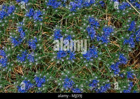 Cardopatium corymbosum growing wild in the Cyprus countryside - Stock Image