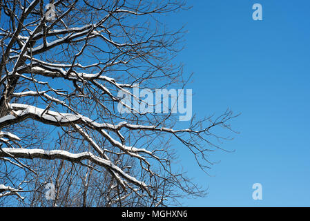 Leafless tree branches covered in fresh winter snow set against a blue sky in natural sunlight. Copyspace for winter woodland and nature themes design - Stock Image