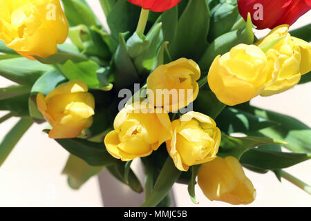 Closeup of red and yellow tulips in a vase. Photographed during a sunny day on a table with white /gray background. Very pretty flowers for the spring - Stock Image