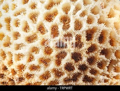 Sceleractinian coral detail, Malaysia - Stock Image