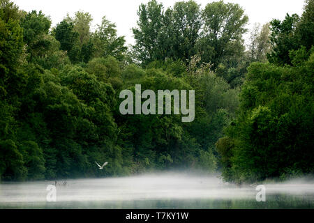 White big bird flying on the fog that covers a river - Stock Image