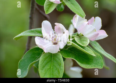 Pink flowers of apple tree, spring blossom on fruit orchard close up - Stock Image