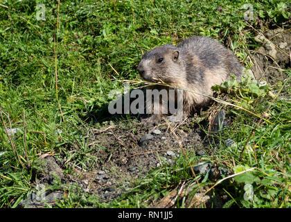 Groundhog on meadow - Stock Image