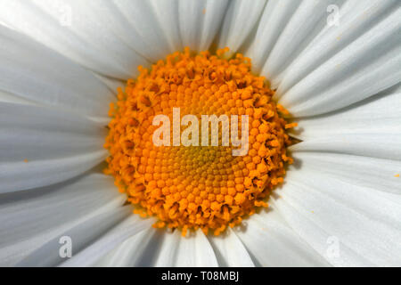 Detail of the center of a giant marguerite flower. - Stock Image