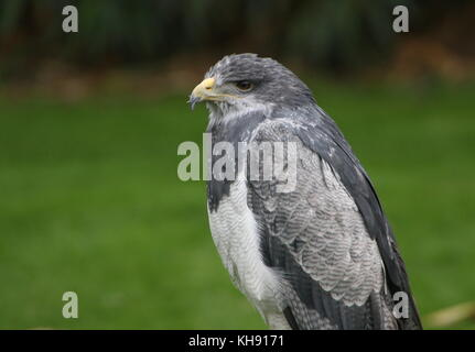 Female Chilean blue eagle (Geranoaetus melanoleucus) a.k.a. Grey or Black chested buzzard eagle. - Stock Image