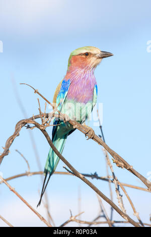 Close-up of a lilac-breasted roller (Coracias caudatus) perched on a twig, Okavango delta, Botswana - Stock Image