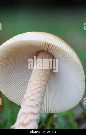 Gills of Amanita crocea, Orange Grisette, fungi, toadstool, mushroom, Ebernoe cricket field, Sussex, October - Stock Image