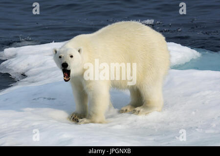 A male Polar Bear (Ursus maritimus) on the ice floe of Baffin Bay, Arctic Circle, yawning - Stock Image