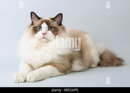 regdoll male cat lying and looking at camera - Stock Image