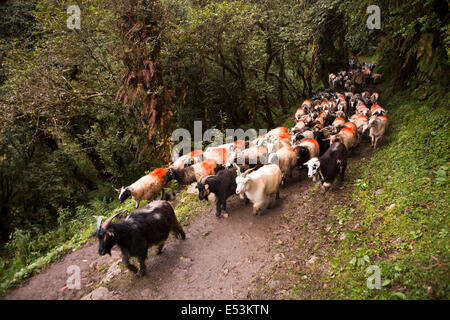 Nepal, Ghorapani, herd of goats being driven along track to Pokhara for sacrifice during Dasain Festival - Stock Image