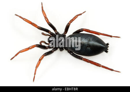 (Trachyzelotes pedestris) Female Trachyzelotes pedestris spider on white background. Family Gnaphosidae, Ground - Stock Image