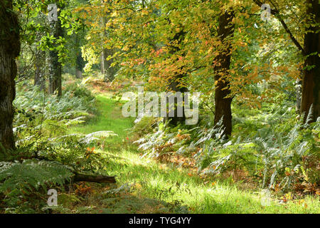 Late summer sunlight brings mellow colours on a meandering path through a wood conveying a peaceful,tranquil feeling to assist general wellbeing. Some - Stock Image