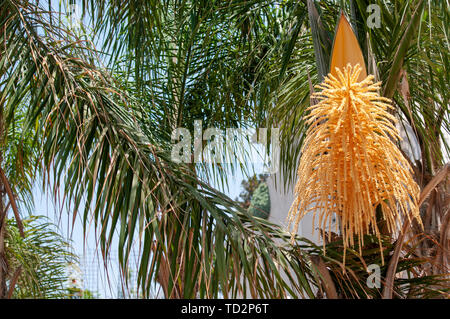 Flowering Dypsis decaryi AKA Triangle palm photographed in Israel in May - Stock Image