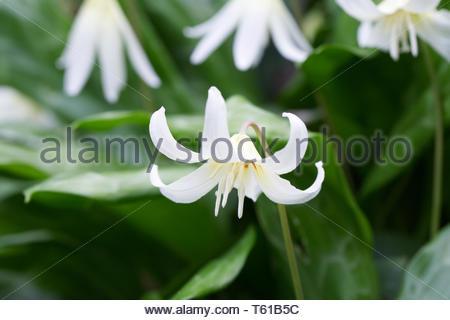 Erythronium californicum 'White Beauty'. California Fawn Lily. - Stock Image