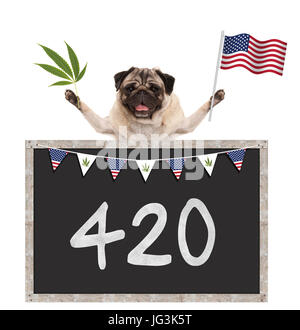 Happy smiling pug puppy dog waving American National flag of USA, with 420 on blackboard, isolated on white background - Stock Image