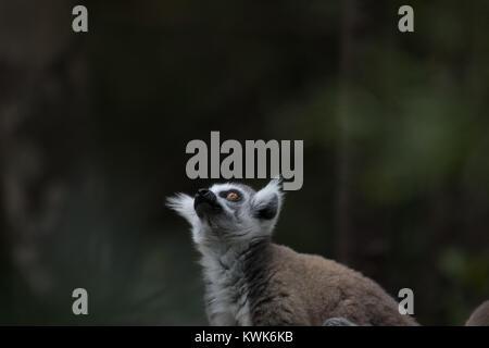 Single Madagascar ring-tailed lemur (Lemur catta) from the Monkeyland Sanctuary in Plettenberg Bay, South Africa. - Stock Image
