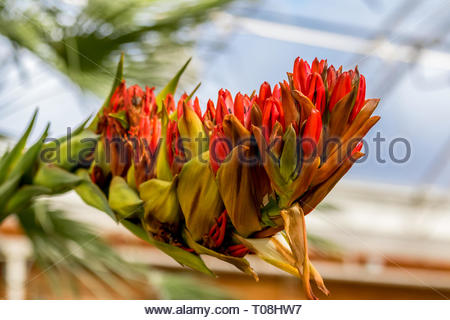 The flowering spike of a Giant Spear Lily (Doryanthes palmeri) in a glasshouse in the UK. - Stock Image