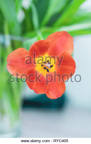Close up of a open red tulip flower in soft focus background. - Stock Image