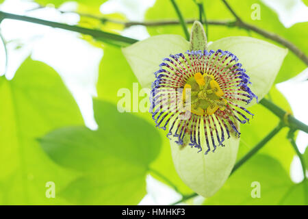 Passion flower (Passiflora platyloba). Tropical dry forest, Santa Rosa National Park, Costa Rica. - Stock Image