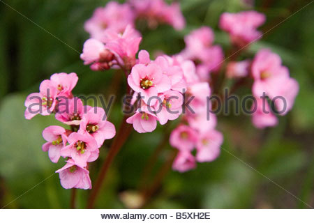 BERGENIA ROSSI CLOSE COMMON NAME ELEPHANTS EARS - Stock Image