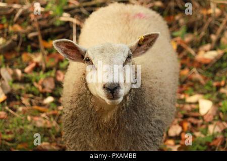 Sheep looking at the camera. - Stock Image