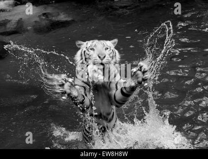 White Tiger Feeding Time - Stock Image