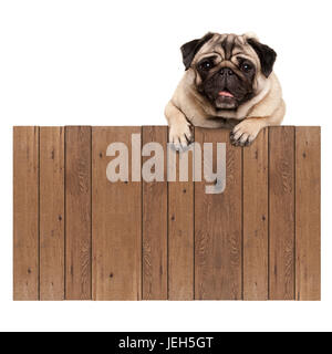 cute pug puppy dog hanging with paws on blank wooden fence promotional sign, isolated on white background - Stock Image