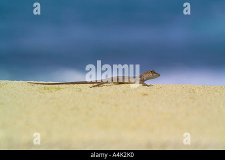 Lizard on a stucco wall overlooking the Atlantic ocean in Puerto Rico. - Stock Image