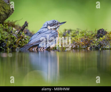 Nuthatch (Sitta europaea) reflected while bathing in a forest pool - Stock Image