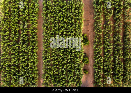 top view of a perfectly aligned farm fruit trees plantation, green field background agricultural industry aerial view - Stock Image