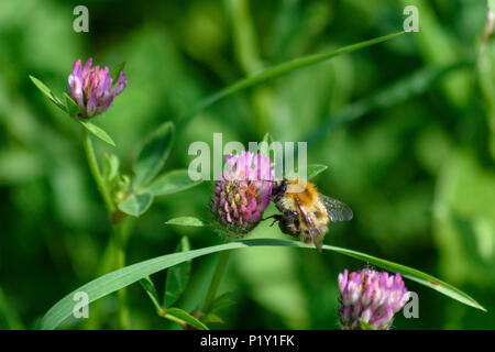 Common carder bee feeding from a pink clover flower side view - Stock Image