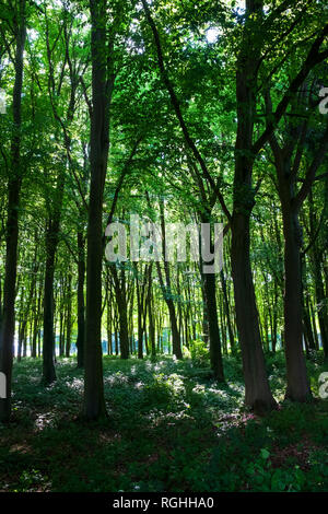 Thiepval Woods near the memorial to the fallen of the battles of the Somme - Stock Image