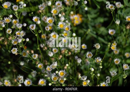 Daisy Fleabane, Erigeron annuus, growing near the Arkansas river in Wichita, Kansas, USA, and just beginning to bloom. - Stock Image