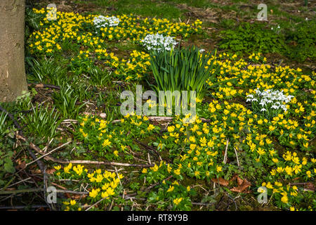 Winter Aconites and snowdrops flowering in an orchard. - Stock Image