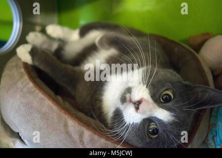 A cat waits to be adopted at the local animal shelter. - Stock Image