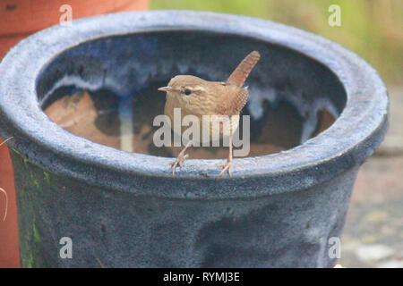 Wren, troglodytes, perched on a blue flower pot in the garden. - Stock Image