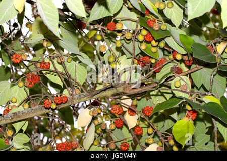 Fruits of the Papiermaulbeerbaum, Broussonetia papyrifera, Früchte des Papiermaulbeerbaum (Broussonetia papyrifera) - Stock Image