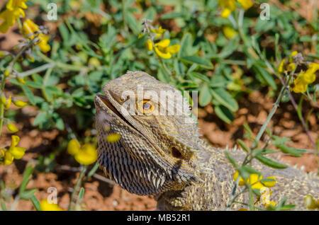 Inland bearded dragon, Pogona vitticeps, Queensland, Australia - Stock Image