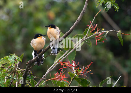 A pair of Black-capped Donacobius in the Pantanal - Stock Image