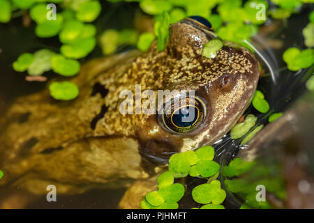 Common Frog,in garden pond, Alsager, Cheshire, UK - Stock Image