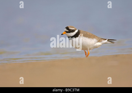 Ringed plover Charadrius hiaticula summer adult on beach, Northumberland. - Stock Image