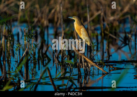 Squacco Heron (Ardeola ralloides) sitting on a branch over blue water in beautifull sunset light in Danube Delta - Stock Image