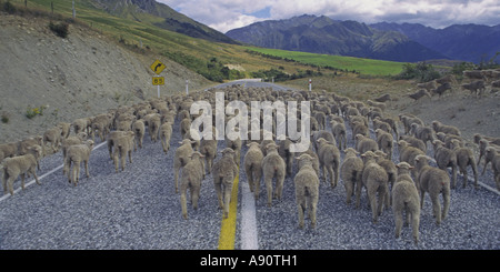 new zealand south island flock of sheep - Stock Image