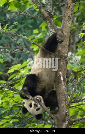 Giant panda descends a tree upside down tree Wolong, China - Stock Image